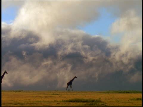 vídeos y material grabado en eventos de stock de long shot silhouetted giraffes walking across grassy plain with storm clouds background / serengeti, tanzania, africa - animales de safari