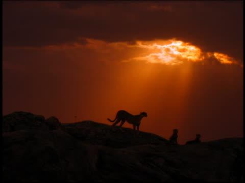 vídeos y material grabado en eventos de stock de long shot silhouettes of three cheetahs on rock in front of orange sky / dusk / serengeti, tanzania, africa - felino grande