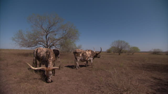 vídeos y material grabado en eventos de stock de long shot static - longhorns with spots graze near trees. / dallas, texas, usa - small group of animals