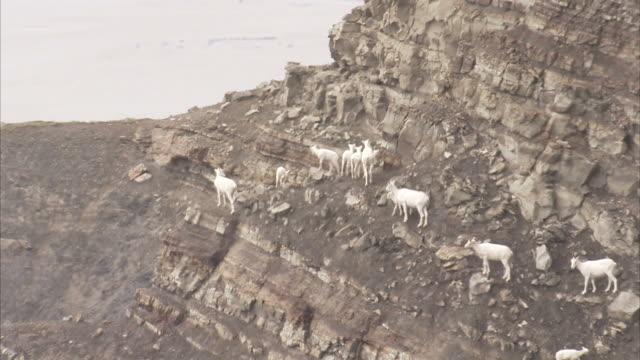 """Long Shot static-Dall sheep stand on a barren cliff. / Alaska, USA"""