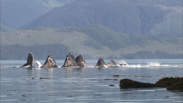 "vidéos et rushes de ""long shot static-humpback whales surface off alaska's mountainous coast. / alaska,  usa"" - groupe de mammifères marins"