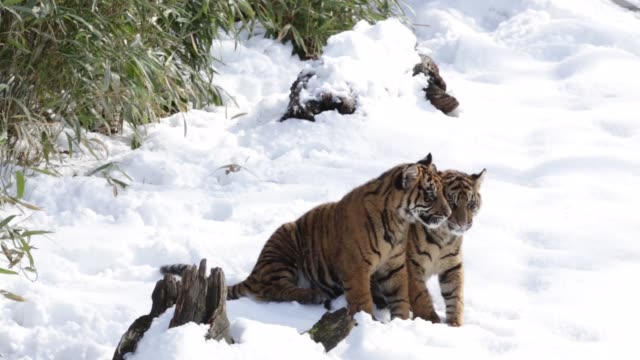 Long Shot the sixmonthold Sumatran tiger cubs Sukacita and Bandar play in their enclosure one day after a snow storm has hit the area The two cubs...