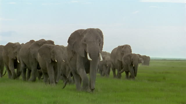 Long shot to wide shot large herd of elephants walking through savanna / Amboseli National Park / Kenya