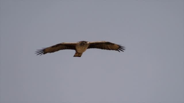long shot tracking - a bonelli's eagle  (aquila fasciata) soaring over a mountainside - aquila video stock e b–roll