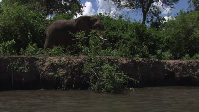 Long Shot tracking-right - An elephant stands on a lush riverbank. / Zambia