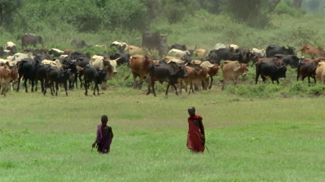 long shot two boys herding cattle through field / amboseli national park / kenya - masai stock videos and b-roll footage