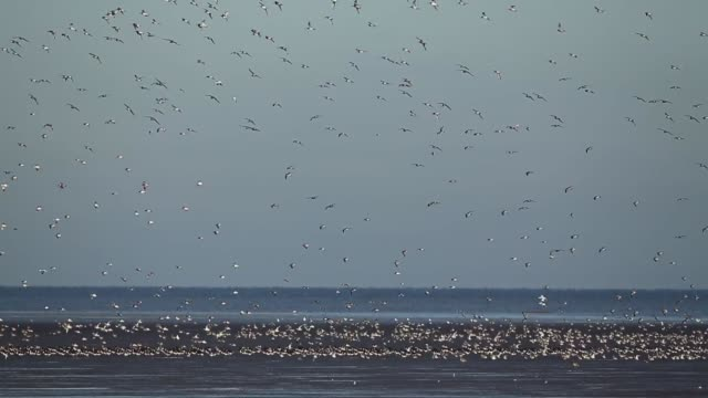 stockvideo's en b-roll-footage met long shot, waders flock together seeking new feeding grounds during the incoming tide at the rspb's snettisham nature reserve on september 09, 2013... - getijde