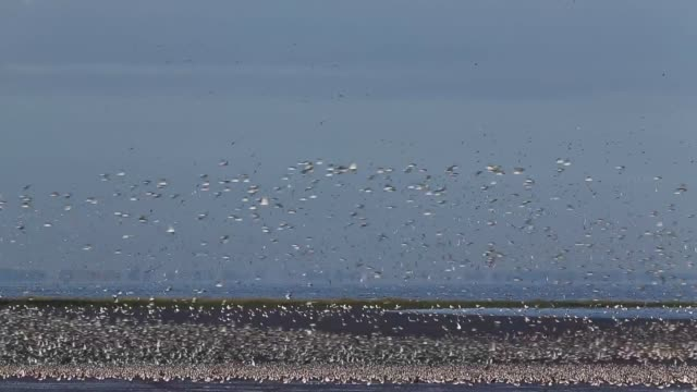 Long Shot Waders flock together seeking new feeding grounds during the incoming tide at the RSPB's Snettisham Nature reserve on September 09 2013 in...