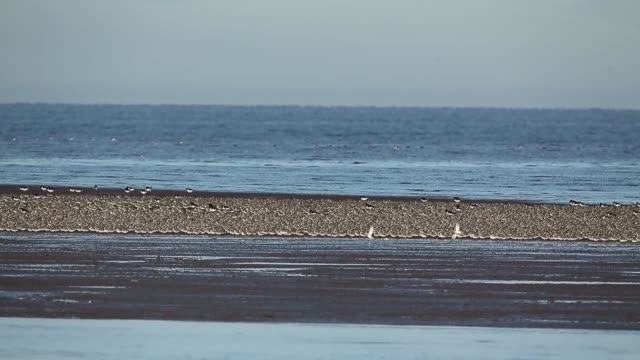 long shot waders flock together seeking new feeding grounds during the incoming tide at the rspb's snettisham nature reserve on september 09 2013 in... - norfolk east anglia stock-videos und b-roll-filmmaterial