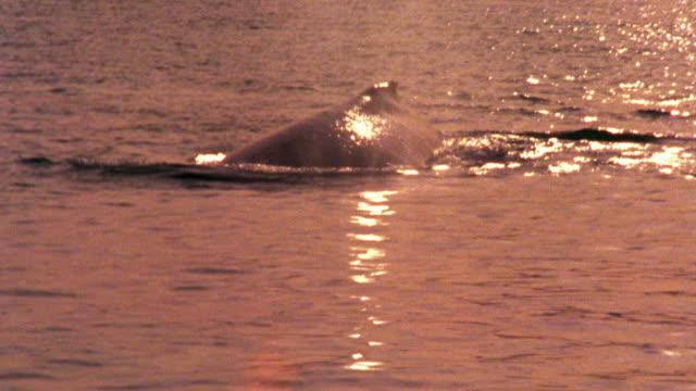 long shot whale surfacing + submerging in ocean / glacier bay, alaska - lobtailing stock videos & royalty-free footage