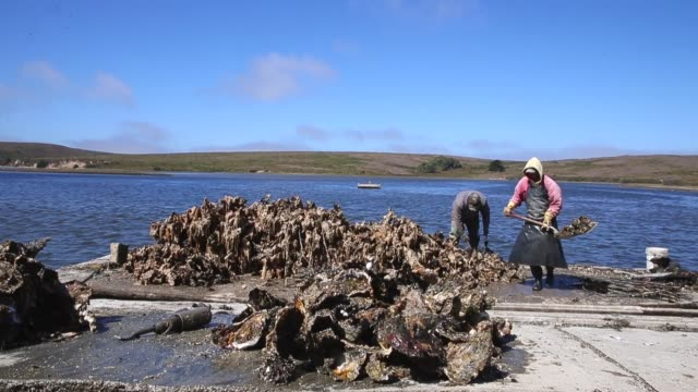 long shot workers moving oysters drakes bay oyster co workers sort freshly harvested oysters on september 4 2013 in inverness california oyster... - oyster shell stock videos & royalty-free footage