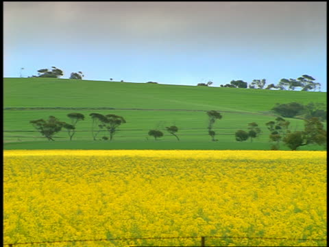 long shot yellow canola field with green hills in background / south australia - crucifers stock videos & royalty-free footage