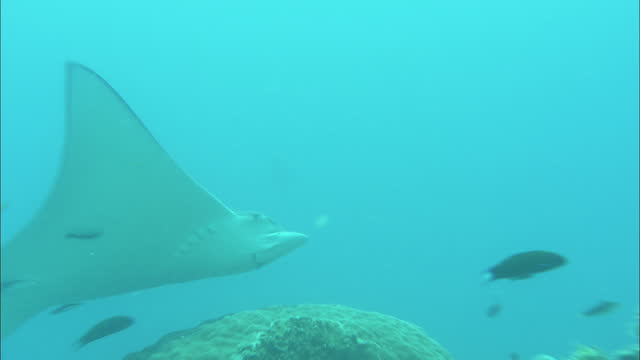 Long Shot zoom-in zoom-out - A manta ray hovers above corals / Heron Island, Australia