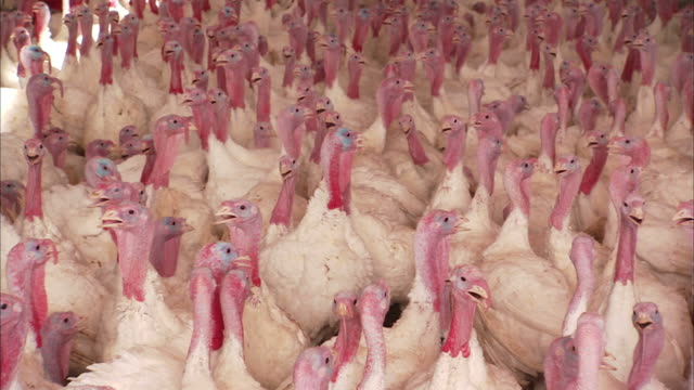 long shot zoom-out-hundreds of white turkeys fill a barn. / fresno, california, usa - turkey stock videos and b-roll footage