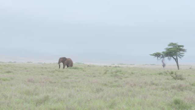 long slow motion shot of an african elephant wandering across the grasslands of the lewa wildlife conservancy, kenya. - 一匹点の映像素材/bロール