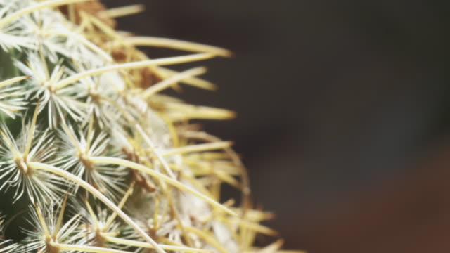 long spines and areole of barrel cactus - barrel cactus stock videos and b-roll footage