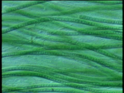 long strands of green filamentous spirogyra algae as seen through a microscope. - lunghezza video stock e b–roll