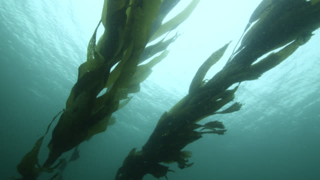 long strands of kelp grow from sea floor, falkland islands - seaweed stock videos & royalty-free footage