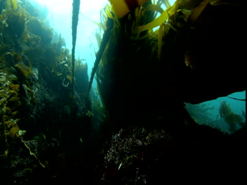 long streamers of seaweed flutter and undulate in the ocean's current. - aquatic plant stock videos & royalty-free footage