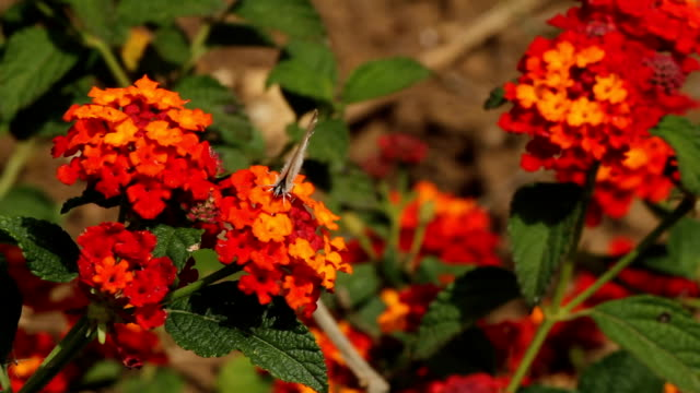 long tailed blue butterfly on a red flower - tierfarbe stock-videos und b-roll-filmmaterial