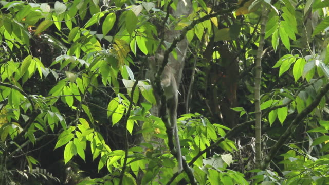 long tailed macaque clambers around in tree. - java stock videos & royalty-free footage