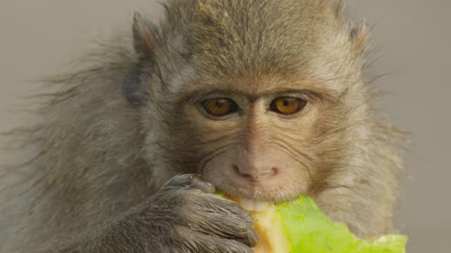 'Long tailed macaque (Macaca fascicularis) eats papaya at monkey festival, Lopburi, Thailand'