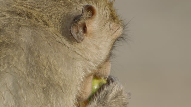 """long tailed macaque (macaca fascicularis) eats papaya at monkey festival, lopburi, thailand"" - macaque stock videos & royalty-free footage"