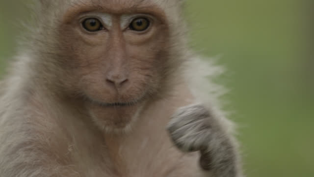 "vídeos y material grabado en eventos de stock de ""long tailed macaque (macaca fascicularis) flosses teeth with human hair, lopburi, thailand"" - higiene"