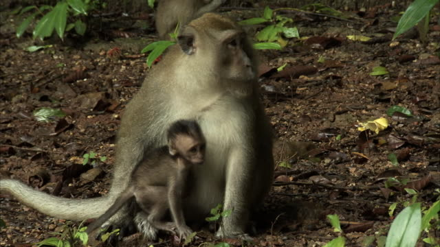 A Long tailed macaque forages for food on the ground with her two babies at the Khao Sok National Park.
