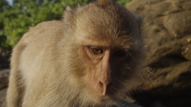 """""""long tailed macaque (macaca fascicularis) peers into camera on beach, thailand"""" - macaque stock videos & royalty-free footage"""