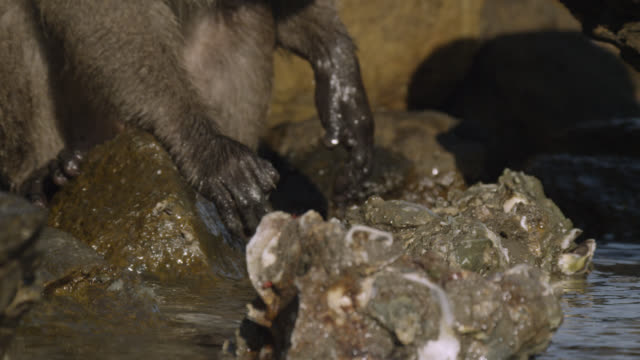 'Long tailed macaque (Macaca fascicularis) selects rock to open oyster on beach, Thailand'