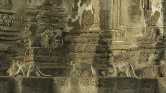 'Long tailed macaque (Macaca fascicularis) troop on temple, Lopburi, Thailand'