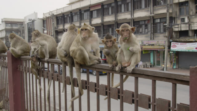 'Long tailed macaque (Macaca fascicularis) troop sitting on fence, Lopburi, Thailand'
