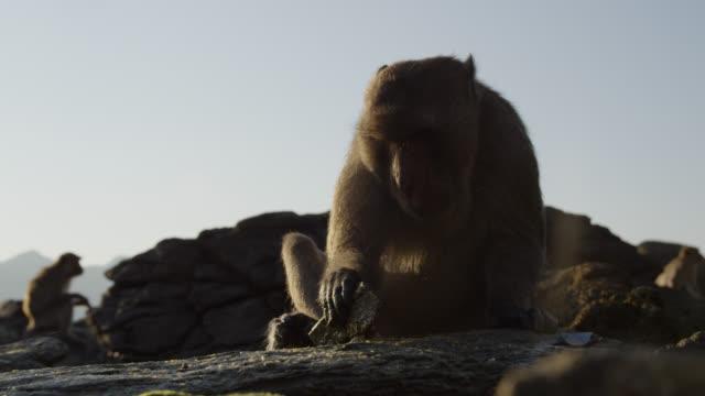 """long tailed macaque (macaca fascicularis) uses rock to open oyster on beach, thailand"" - neuweltaffen und hundsaffen stock-videos und b-roll-filmmaterial"