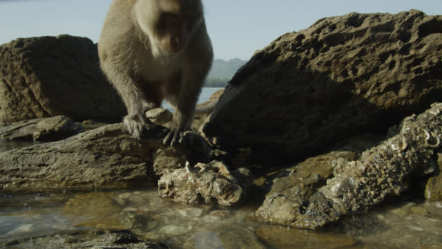 """long tailed macaque (macaca fascicularis) uses rock to open oyster on beach, thailand"" - animals in the wild stock videos & royalty-free footage"
