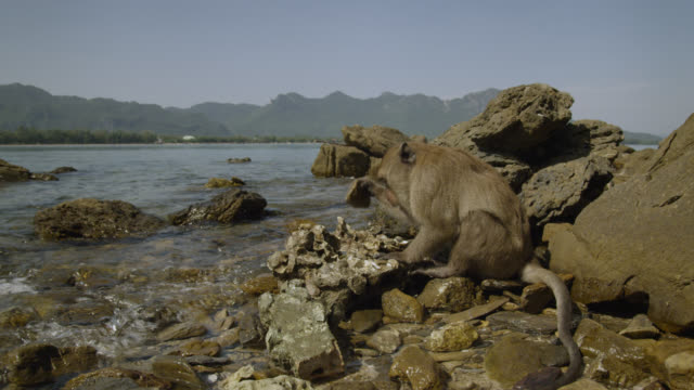 """long tailed macaque (macaca fascicularis) uses rock to open oyster on beach, thailand"" - macaque stock videos and b-roll footage"