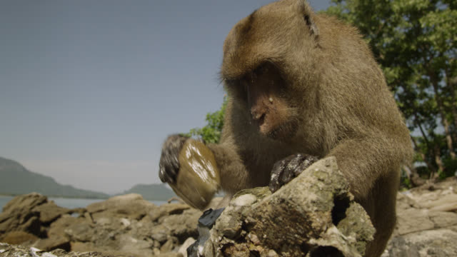 'Long tailed macaque (Macaca fascicularis) uses rock to open oyster on beach, Thailand'