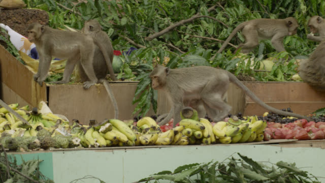 'Long tailed macaques (Macaca fascicularis) eat fruit at monkey festival, Lopburi, Thailand'