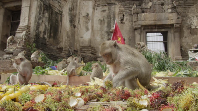 """""""long tailed macaques (macaca fascicularis) eat fruit at monkey festival, lopburi, thailand"""" - macaque stock videos & royalty-free footage"""