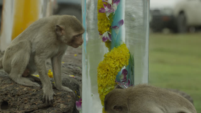 'Long tailed macaques (Macaca fascicularis) lick ice sculpture at monkey festival, Lopburi, Thailand'