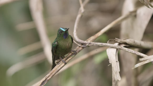 long tailed sylph hummingbird (aglaiocercus kingii) takes off in forest, ecuador - hummingbird stock videos and b-roll footage
