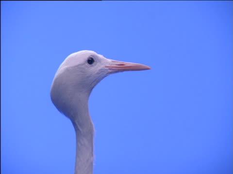 long thin neck and head of blue crane looking around - 長さ点の映像素材/bロール