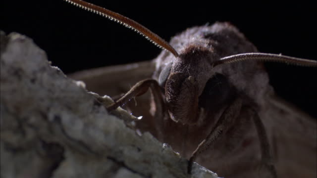 long tongued hawkmoth (coelonia solanii), madagascar - bbc stock videos & royalty-free footage