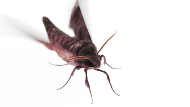long tongued hawkmoth on white background - moth stock videos and b-roll footage