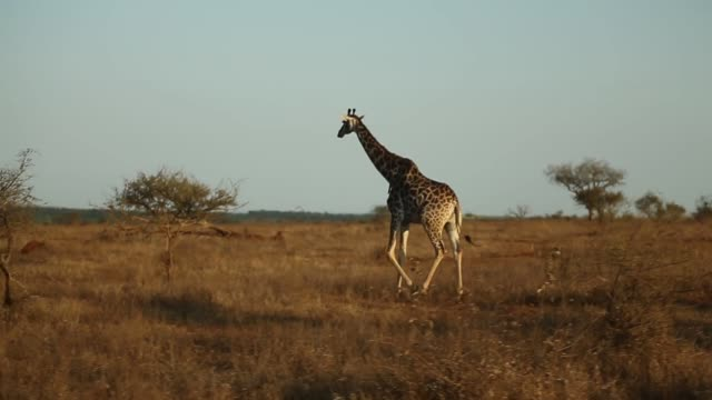 Long Tracking Shot A Giraffe is running in Kruger National Park The Kruger National Park was established in 1898 and is South Africa's premier...