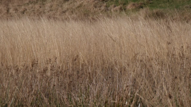 Long wilted grass blowing in the wind in Scottish countryside