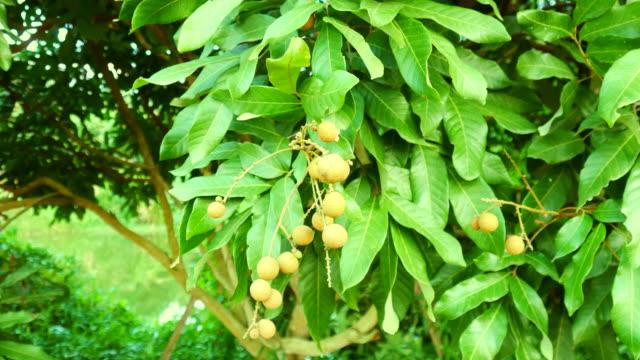 vídeos de stock e filmes b-roll de longan in the garden - ramo parte de uma planta