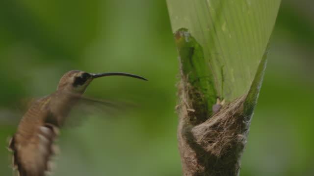 ms long-billed hermit feeding baby bird sitting in nest / panamá province, panama  - 翼を広げる点の映像素材/bロール