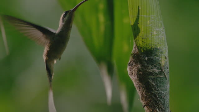 ms long-billed hermit feeding baby bird sitting in nest / panamá province, panama  - central america stock videos & royalty-free footage