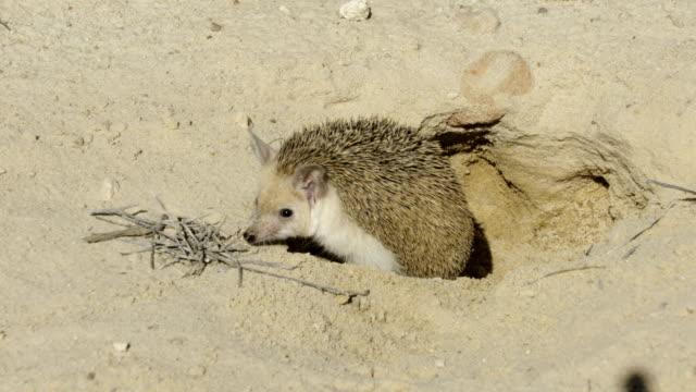 long-eared hedgehog (hemiechinus auritus) - hedgehog stock videos & royalty-free footage